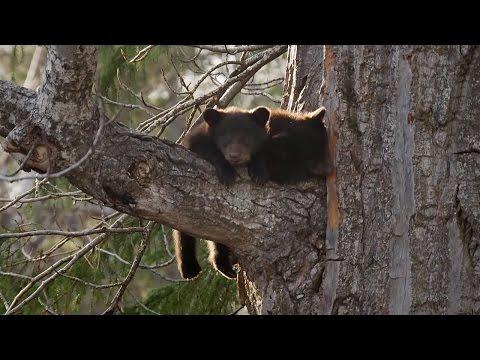 Xxx Mp4 Black Bear Cubs Climbing Down Tree Wild Alaska BBC Earth 3gp Sex