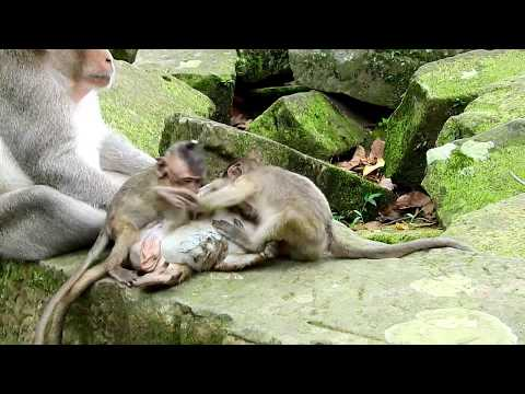 Ah No, Small Monkey Brutus JR Can't Escape, Why Brother Jack Do That?,