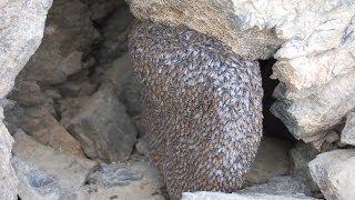 جَنِيَ العسل البري الجبلي