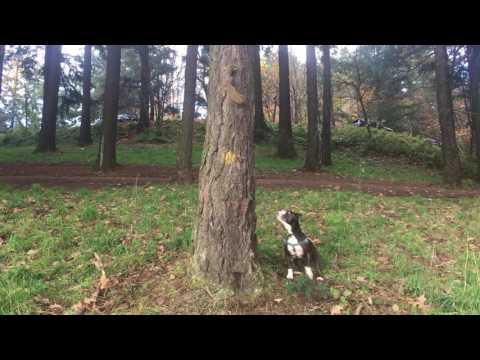 Squirrel kills Pitbull