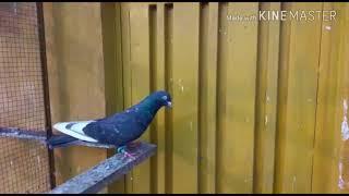 Pakitani high flyer pigeon (pigeon lovely)