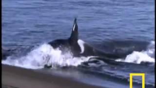 نهنگ قاتل در برابر شیر دریایی
