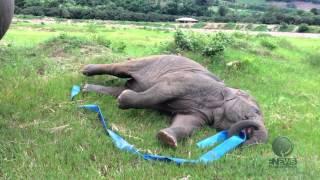Elephant play Hula Hoop with a blue ribbon