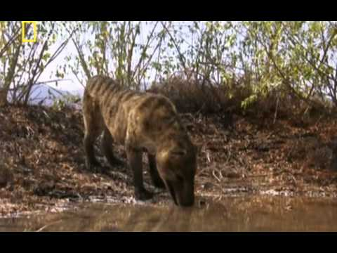 Depredadores prehistóricos El cerdo asesino