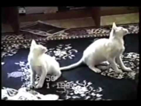 Videos Gatos divertidos
