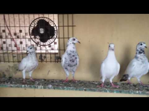 Indian high flying pigeons,from MD Zeeshan Kolkata West Bengal,Madrasi and high flying pigeons