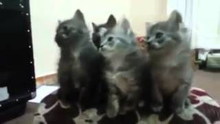 Cats dancing in an arabic song (NOT MY VlDEO)