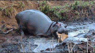 Angry Hippo Crushes Antelope: SNAPPED IN THE WILD