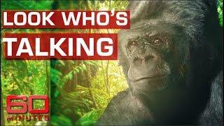 Koko the talking gorilla | 60 Minutes Australia