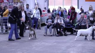 BULL TERRIERS AT NATIONAL TERRIER SHOW (2017)