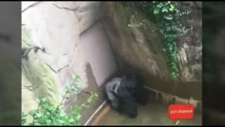Detik detik anak kecil jatuh ke kandang Gorilla raksasa