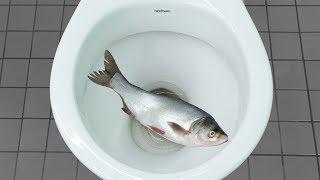 Experiment - Will it Flush Salmon Fish?