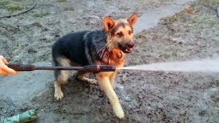 Funny Germn Shepherd Dog vs Water Hose
