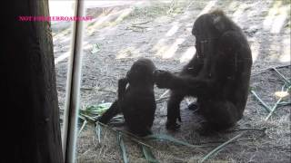Gorilla Baby Sister Is Cuddle With Him !