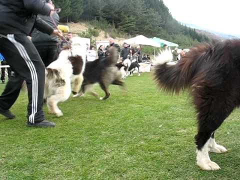 Изложба � а каракача� ско куче с.Желез� ица 2011