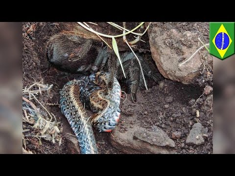 Spider vs snake: huge tarantula photographed eating snake for first time in wild - TomoNews