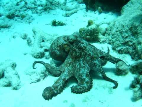Octopus Attack I