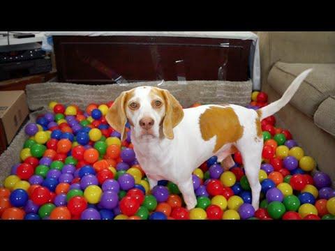 Xxx Mp4 Best Dog Birthday Surprise DIY Ball Pit For Maymo 3gp Sex