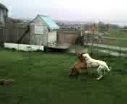 Dogo argentino and Pitbull