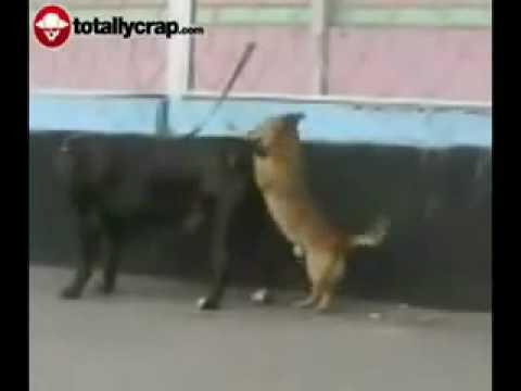 Piccolo cane si accoppia con uno grande e incredibile destrezza