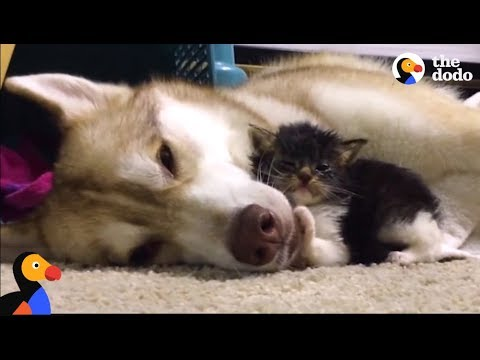 Xxx Mp4 Husky Dog Adopts Stray Cat Saving Her Life The Dodo Comeback Kids S01E02 3gp Sex