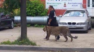 Macan di lepas ditengah kota bikin kaget pejalan kaki