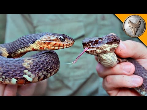 Cottonmouth vs Water Snake