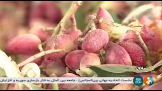 Iran Organic Pistachio harvest, Rafsanjan county برداشت پسته ارگانيك شهرستان رفسنجان ايران