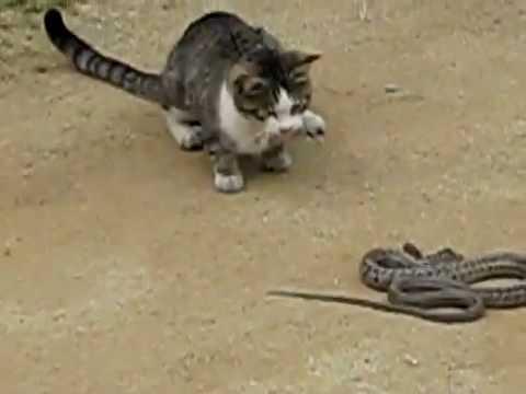 Video de gato peleando con serpiente Video.flv