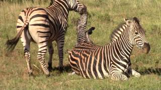 Zebra Birth