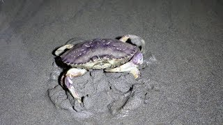 Catching Crabs at Night on the Beach!