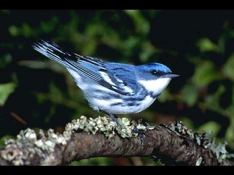 Download Master Pleci Suara Burung Luar Negeri Nembak Part 1 free