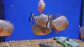 Red piranha - Піранья