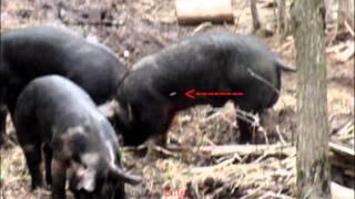 Airgun Pig Hunting 02 - Ranger .45