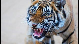 Royal Bardia National Park Tiger Attack - www.natural-variation.com