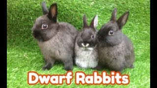 Why Dwarf Rabbits Are the 3rd Most Popular Pet