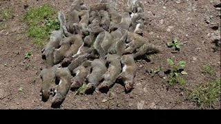 Pest Control with Air Rifles - Squirrel Shooting - Scope Cam Day Out