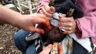 Castrating a Piglet