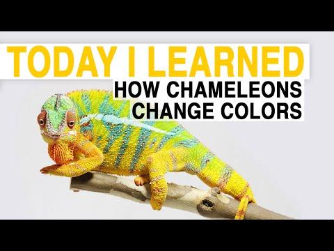watch TIL: How Chameleons Change Color | Today I Learned