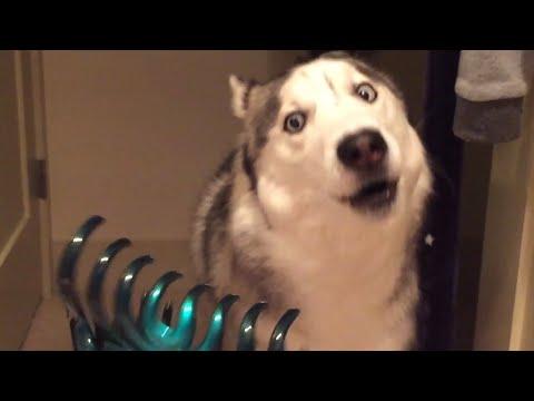 30 Incredible Huskies Funny Dog Video Compilation 2017