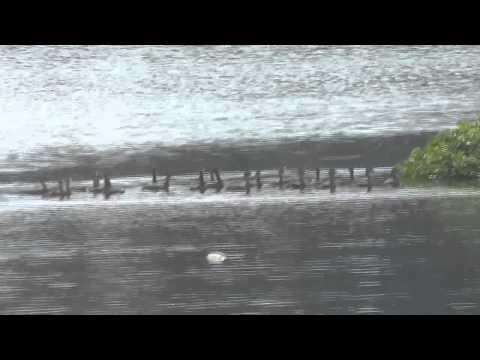 Migratory Birds Of Santragachi Lake   Part 4