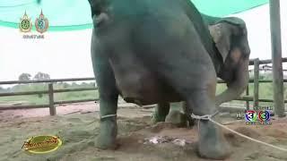 زایمان طبیعی فیل