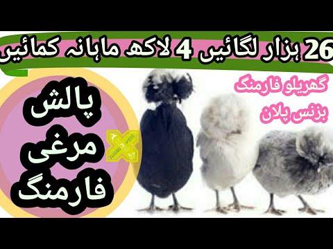 Xxx Mp4 پالش مرغی فارمنگ 4 لاکھ آمدنی ماہانہ Polish Chicken Farming Business Plan Feasibility In Urdu Hindi 3gp Sex