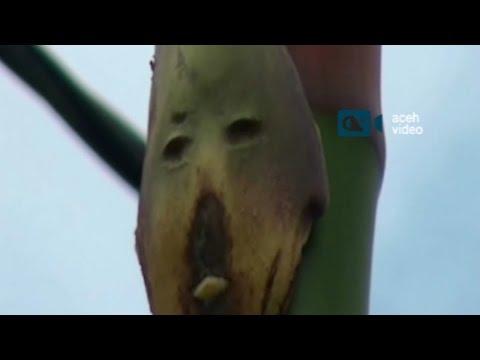 Unik, Pelepah Pohon Pinang Mirip Wajah Manusia