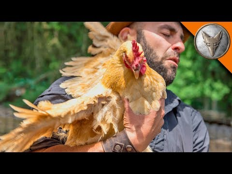 WING ED by a CHICKEN