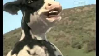 Kunfu vaca