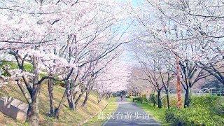 ゴールデンレトリバー・オス・9歳 ハリー 桜咲く遊歩道 朝の散歩