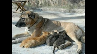 Amazing! Cat and Kitten Drinking Milk From Mother Dog - Dogs loves Cat
