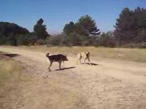 Kurt Kangal karşılaşması