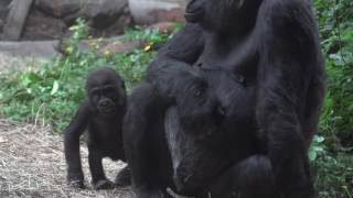 Grow With Yola: Woodland Park Zoo Baby Gorilla